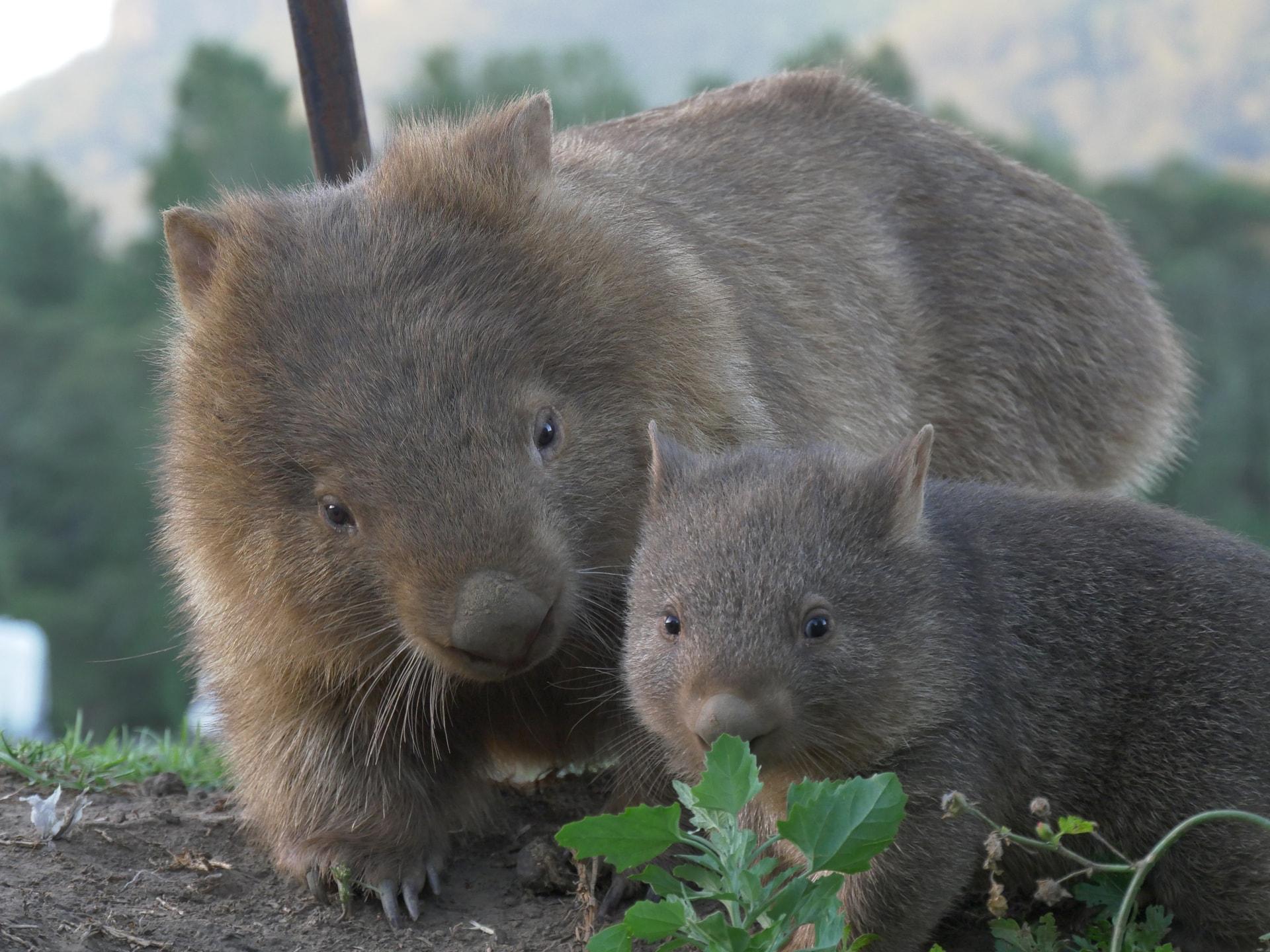 A la recherche du wombat à Kangaroo Valley ! 10