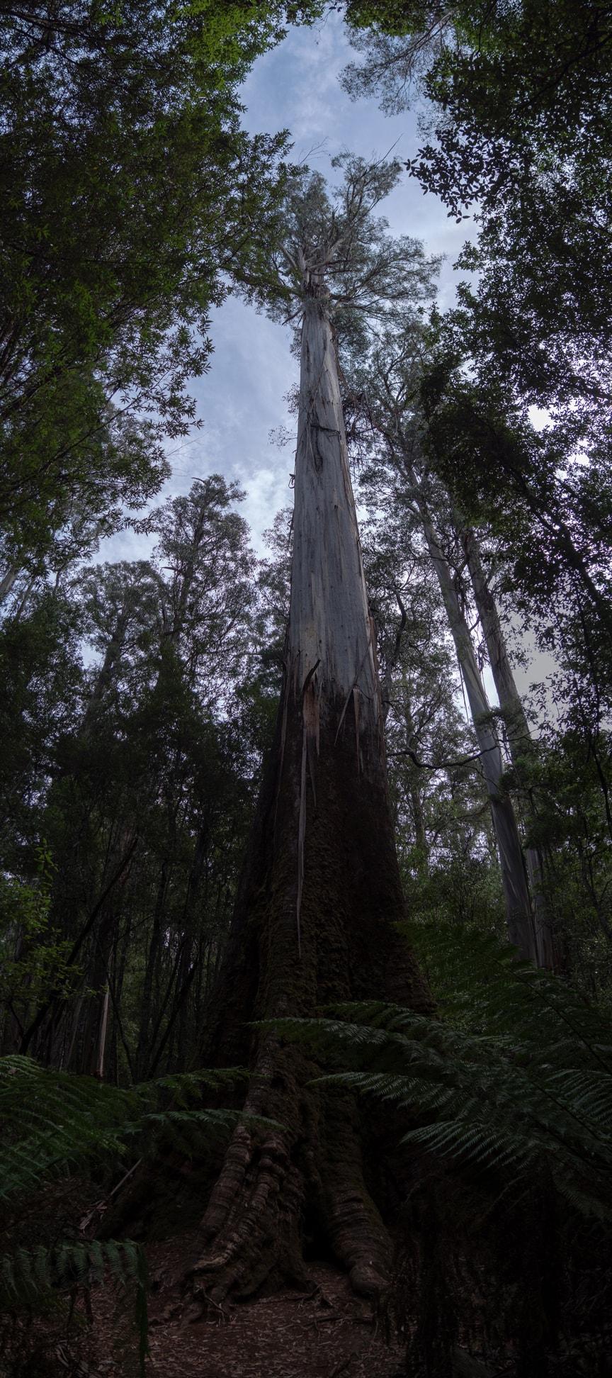 Les cascades et géants gum tree de Mt Field National Park 11